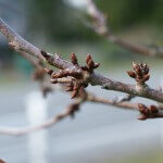 Cherry Tree branch with buds